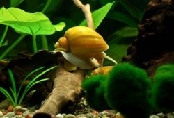 Get Rid Of Snails In Fish Tank Naturally