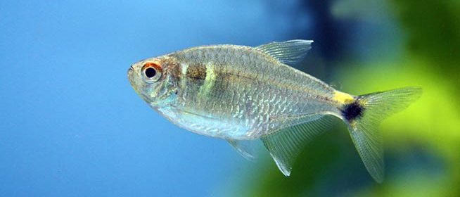 Tetra Fish for Beginners