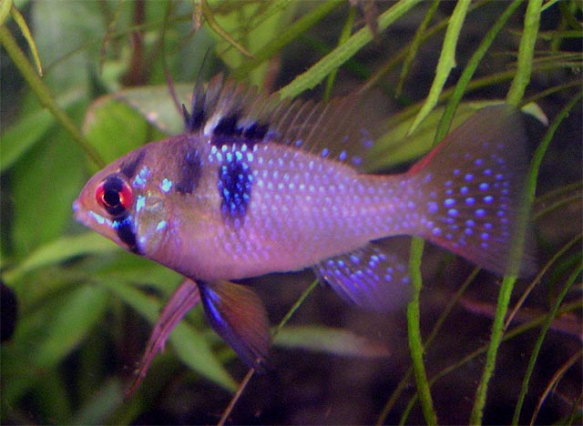 Tropical fish breeding some interesting considerations on for Fish breeding net