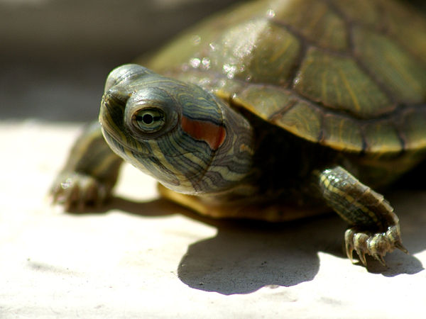 Turtle Care Tips