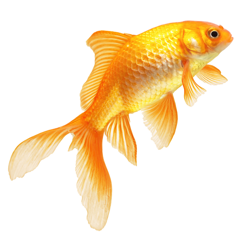 Types Of Goldfish Some Useful Information On Subject