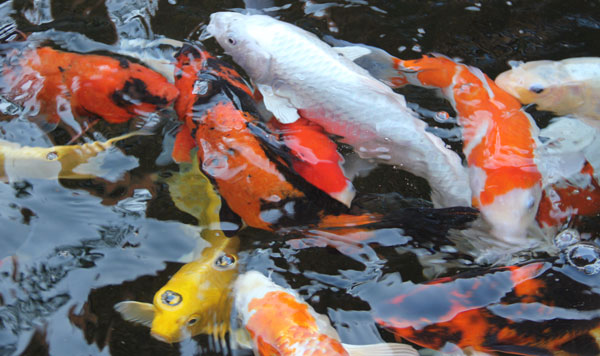 Things you need to know when feeding your koi fish