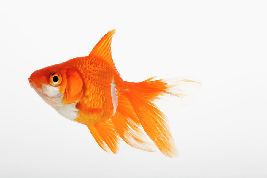 Your Checklist In Caring For Gold Fish