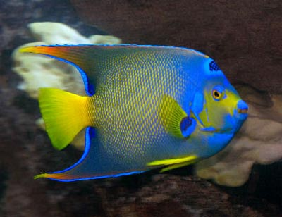 Coral Beauty Angelfish Comparisons