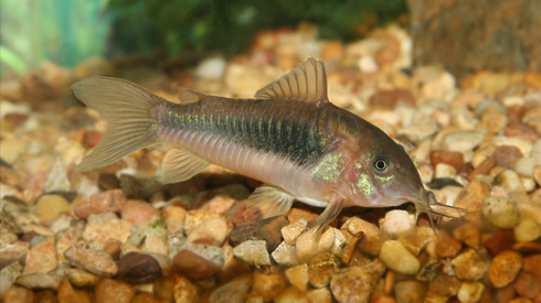 How to Ensure the Survival of Aquarium Catfish