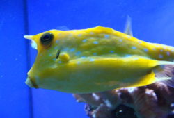 Aquarium Boxfishes and Cowfishes