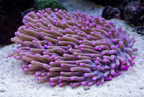 Tropical Marine Aquarium Disk Corals