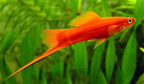 Care and Breeding of Swordtails