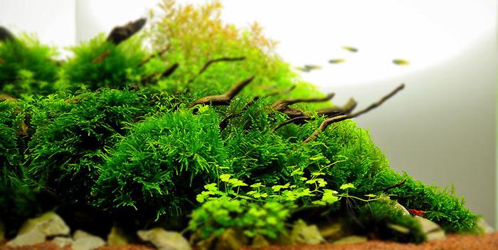 Aquarium plant basics some useful information on subject for Best aquatic plants