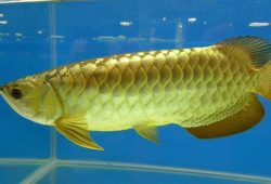 Arowana Fish: An Aquatic Nobility
