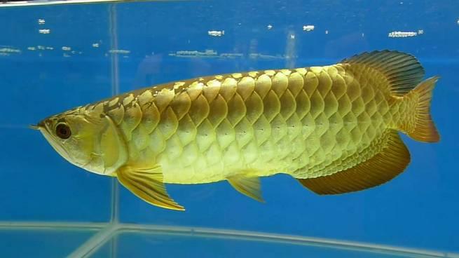 Arowana Fish: An Aquatic Nobility