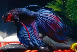 Betta Fish Lifespan