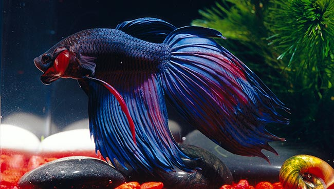 betta fish lifespan some useful information on subject