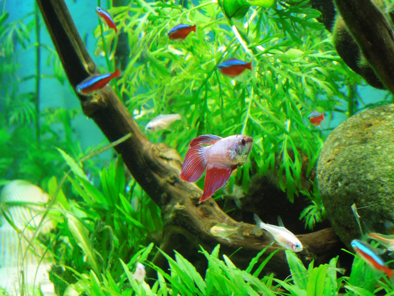 Betta Fish Tank Information