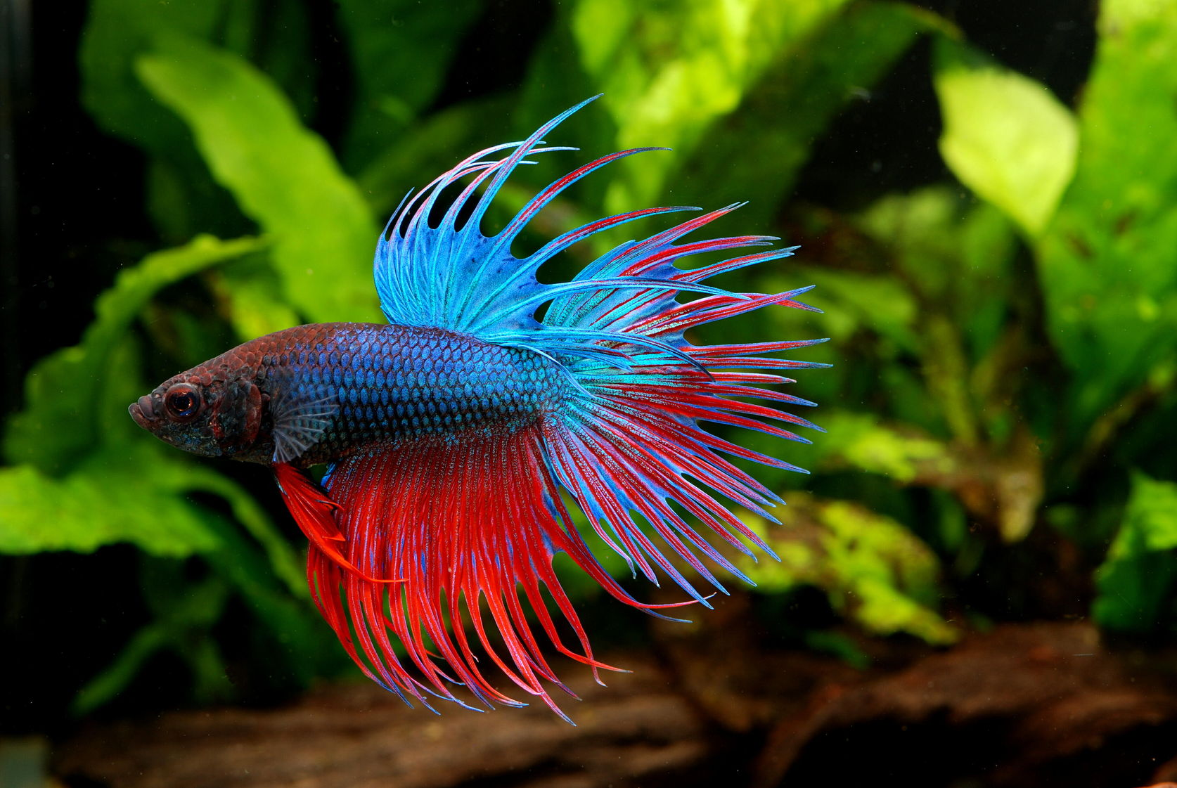 betta fish tank mates some information on subject