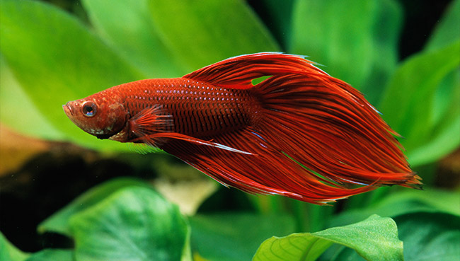 How long do betta fish live some useful information for How much are betta fish