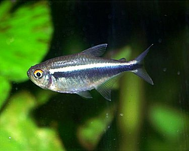 How to breed Black neon tetras