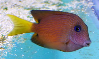 Blue Eye Tang in a Tropical Saltwater Aquarium