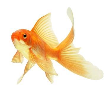 Choosing Gold Fish