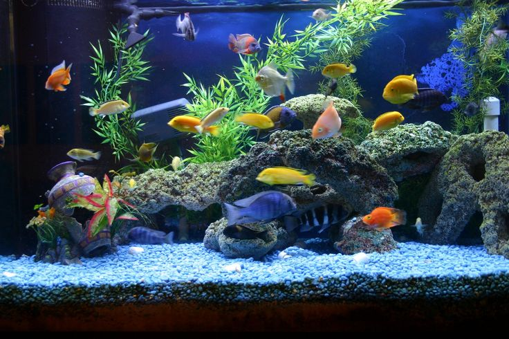 Cichlid Compatibility in Aquariums