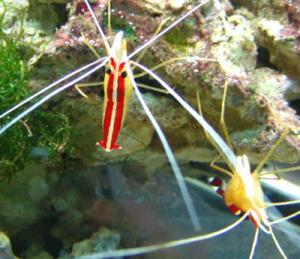 Cleaner Shrimp and Wrasses for Saltwater Aquaria