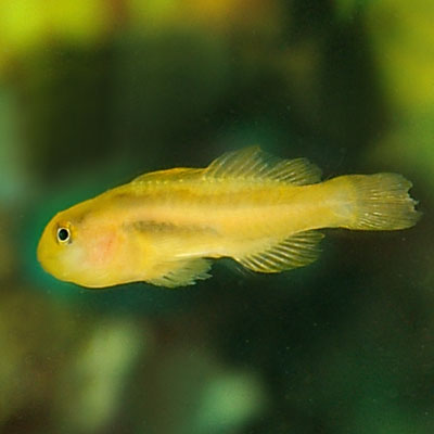 Clown Goby