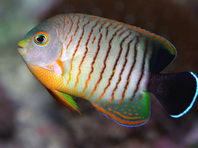 Most Expensive Dwarf Angelfishes