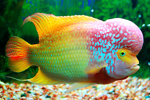 Evaluations on Flowerhorn