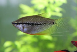 About Freshwater Aquarium Fish