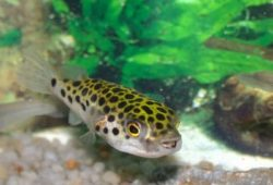 Freshwater Puffers in the Home Aquarium