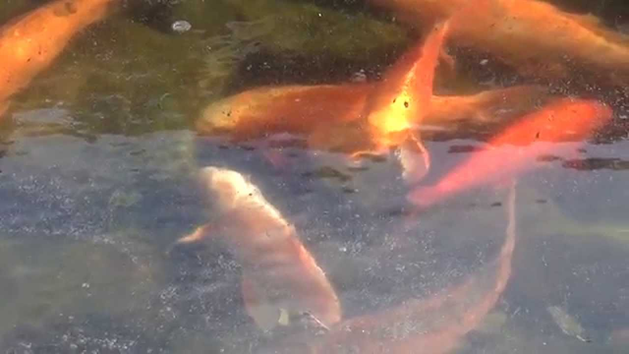 Winter Maintenance in the Frozen Koi Pond