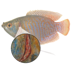 Gill Inflammation