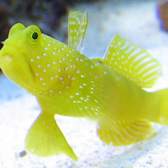 goby fish detailed information and recommendations on subject