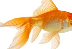 Goldfish – An Indoor Hobby