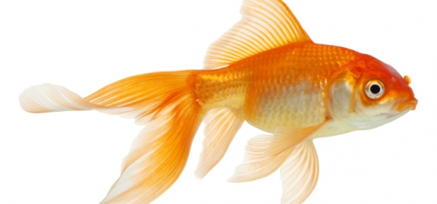 Goldfish - An Indoor Hobby