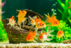 About Goldfish Care