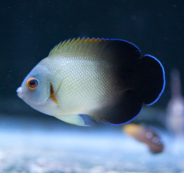 Half Black Angelfish Testimonials