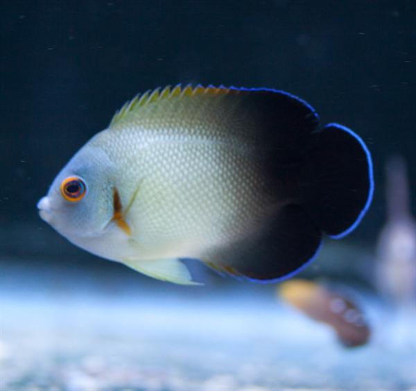 Half Black Angelfish Testimonials