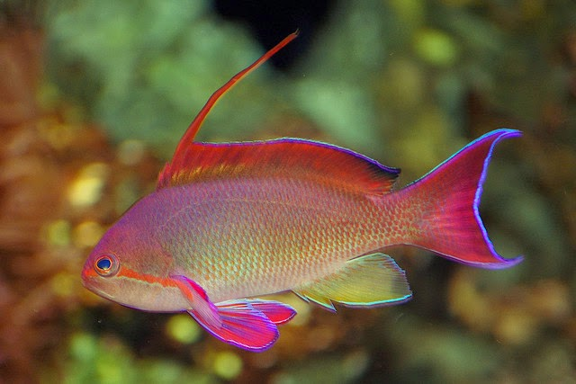 Hardiest Anthias Species