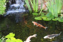 Helping Koi Grow Bigger