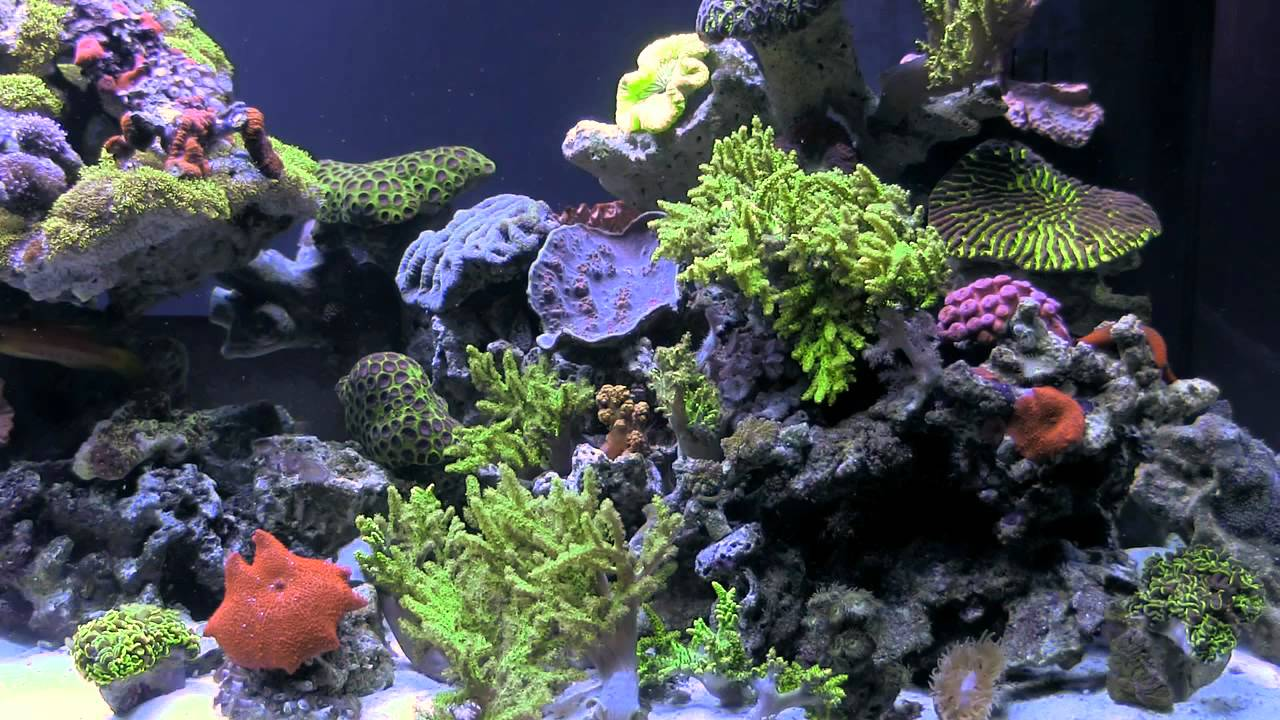 "Some crustaceans can perform an important function in your marine tank and act as ""reef janitors,"" consuming the debris that settles on your aquarium floor, eating algae, and sifting through the sand or gravel you have installed as a substrate layer in your tank. Some species of hermit crab feed on algae, including red slime algae, and sift through the sand. Be sure to check with your dealer, as other species of hermit crab can eat coral and other invertebrates you may wish to keep in your tank. ""Good"" hermit crabs include dwarf blue-leg hermit crabs and other dwarf varieties, electric blue and electric orange hermit crabs, Halloween hermit crabs, scarlet reef hermit crabs, and others. Also, various snails, which generally prefer settling on rocks and tank glass, will do a great job keeping these surfaces clean of algae. Chestnut cowries, margarita snails, nerite snails, turbo snails, and banded trochus snails are all herbivores and good varieties for tank cleaning purposes. A variety of shrimp also act as reef janitors, feeding not on algae but on small parasites as scavengers. Shrimp are best kept singly, or as mated pairs; if there are two males, or two females, they may fight with each other. Pacific cleaner shrimp and scarlet cleaner shrimp are popular reef tank additions; coral banded shrimp are also sought by reef aquarium owners, and are striking to look at. Make sure any shrimp you add to your tank is compatible with your other invertebrates and fish; some shrimp are said to attack certain fish, though often shrimp simply exhibit territorial behavior and chase off fish and other mobile creatures. And a harlequin shrimp, although stunning to look at, primarily eats the tube feet of starfish, so if you are keeping prized starfish, a harlequin would not be a good addition to your tank. Echinoderms include both starfish and sea urchins. There are thousands of varieties of starfish, including brittle stars, and many of these varieties can also act as scavengers. A ""sand sifting starfish"" is one variety that is active at night, sifting through sand and consuming unwanted detritus and leftovers that would otherwise decay. If there is insufficient scavenger food, you can supplement a sand sifter's diet by dropping small pieces of food in the tank. Serpent stars are more aggressive; they have larger central discs and have been known to attack and consume gobies and other fish. Brittle stars, as the moniker suggests, are delicate creatures, also nocturnal. They hide among rocks during the day and come out to feed at night. Again, leftovers and other food debris are usually sufficient to feed a brittle star, without having to supplement its diet. Sea cucumbers, also echinoderms, are interesting creatures that resemble large slugs; they have thick, muscular bodies and tube feet that they use to cling to the substrate and move about. Sea cucumbers have fleshy projections called papillae that often cover their bodies. Some species are small, just a few inches in length, while larger species can be more than 3 feet in length and 1 foot in diameter -- obviously too large for a reef tank! Holothuria and other families of sea cucumber suitable for reef tanks feed by mopping up particles of food on the substrate with their tentacles. Pay close attention to your sea cucumber, to ensure that there is enough for him to eat. It's sometimes hard to tell if a sea cucumber is starving; if he begins to shrink, that's a sure sign. Sea anemones are another classification of marine invertebrate which are largely stationary. A sea anemone is a polyp that attaches itself to the substrate or to a rock with an adhesive foot; once attached, they tend to stay in one place unless attacked. When introducing an anemone to a reef tank, the creature will usually find its own spot; however, be sure to monitor this process, to ensure that the anemone does not get caught up in any currents or stung by any coral that's already in your tank. Anemones eat through a mouth that is surrounded by tentacles; since food must come to the anemone, your tank should have strong water flow. To ensure that your anemone gets sufficient food, you can feed him small pieces of shrimp, worms, or fish. These are usually expensive creatures to purchase, so take good care. Finding the right mix of invertebrates for your marine tank takes a fair amount of research, to create a community that is compatible and pleasing to observe. Some of these creatures are pricey, so you need to take special care to ensure that they are getting enough to eat. However, the end result will be a fascinating and educational ecosystem that will give you years of pleasure."