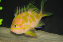 The Japanese Spotted Anthias in the Aquarium
