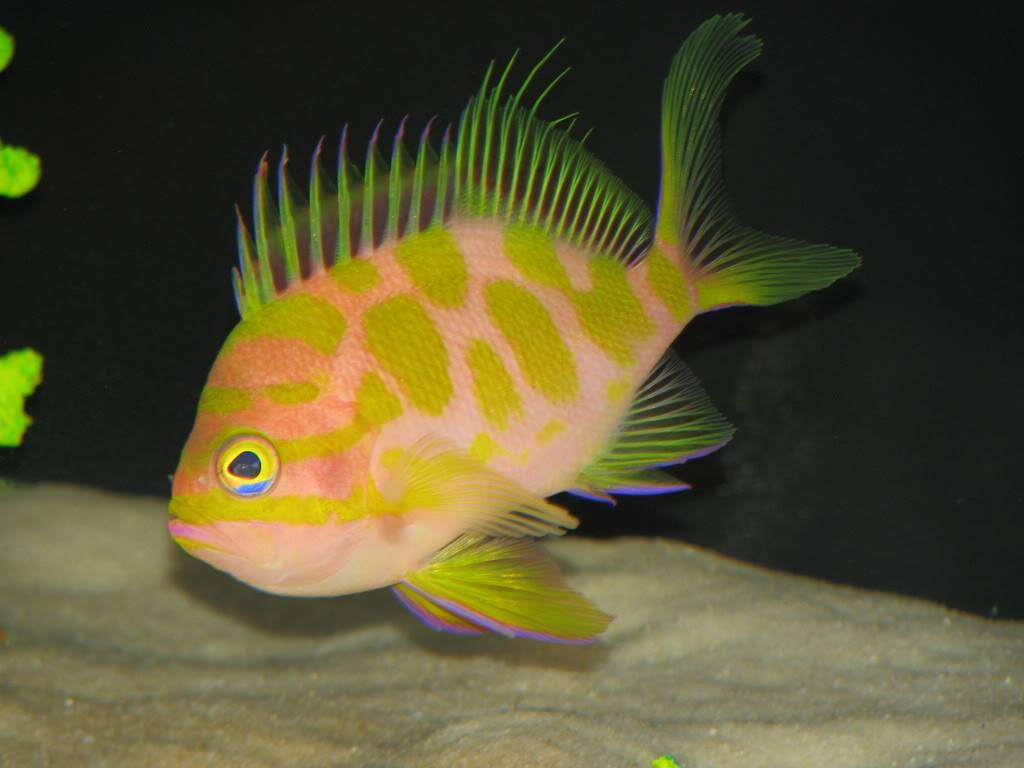 Japanese Spotted Anthias
