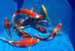 Koi Fish for Beginners Review