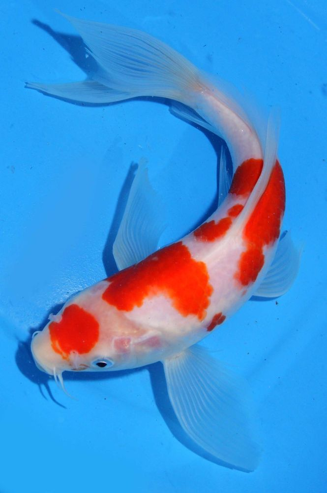 Koi fish some interesting information on subject for Blue and orange koi fish
