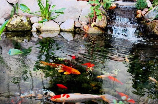 Koi Pond Maintenance