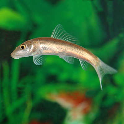 Live Freshwater Fish