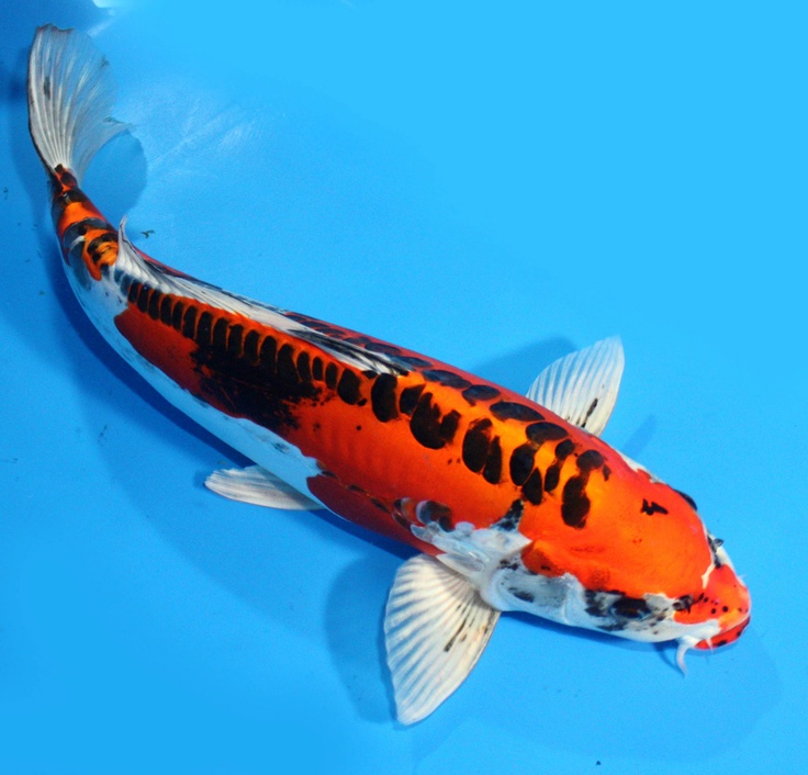 Live koi fish detailed information and recommendations on for Koi fish retailers