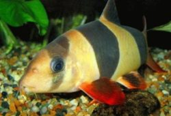 Care and Breeding of Loaches