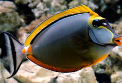 Naso Tangs for the Tropical Saltwater Aquarium